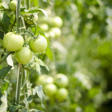 Tomatoes make The Perfect Garden