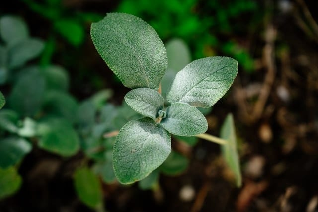 Sage is fairly easy to grow even as someone brand new to growing herbs.