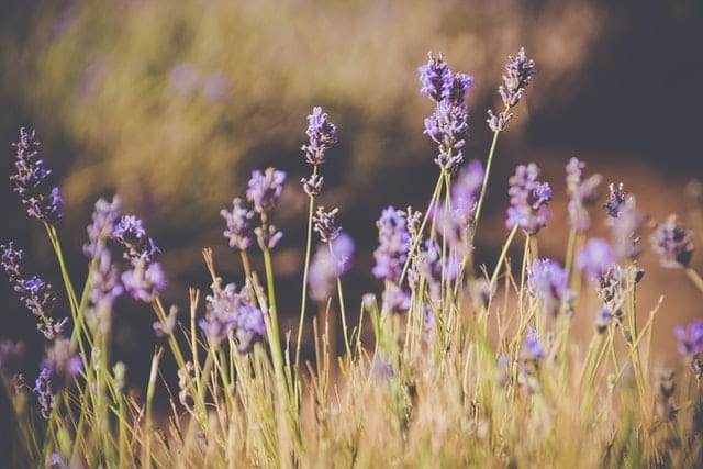 Lavender is one of the most popular herbs because of its many medicinal qualities.