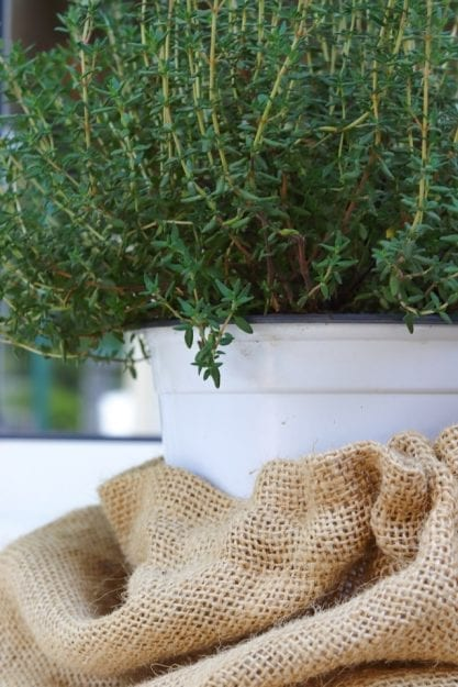 Thyme in a white pot with burlap wrapped around the bottom - All parts of thyme can be used for holistic purposes, including the leaves, flowers, and even the oils.